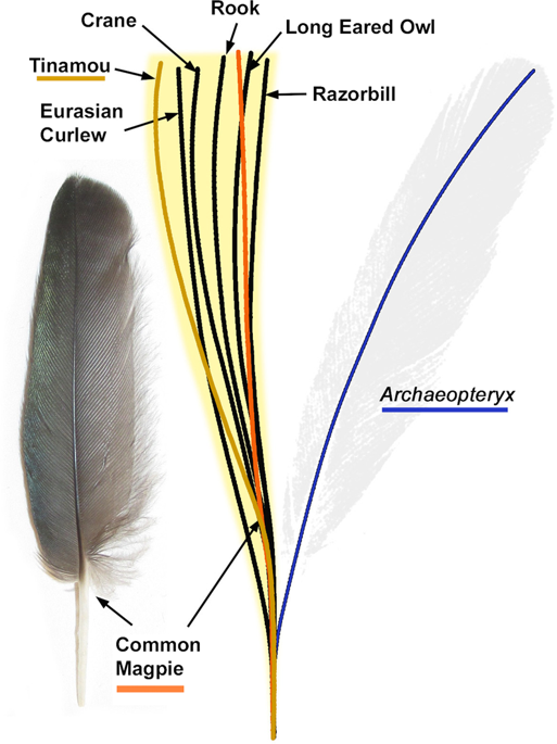 Size-normalized centerline calamus-rachis traces for the primary coverts of 24 modern birds compared to the trace of the isolated feather (Berlin specimen, MB.Av.100). The blue line is the isolated feather's trace whilst the orange line is from the common magpie (Pica pica, Fig. S3) whose wing has been cited as the isolated feather's closest modern match1,7. In brown is the centerline trace from a modern Undulated Tinamou (Crypturellus undulatus UWBM 71526, Fig. S4), which belongs to the only groups of extant palaeognaths with flight capabilities. The yellow zone represents the area covered by the traces of all 24 measured feathers, including a 1.5% error zone allowing for taphonomic flex (see Fig. S1). In all cases the isolated feathers centerline is a large departure from modern primary coverts.