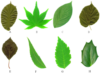 The eight types of leaves. https://doi.org/10.1371/journal.pone.0204714.g004