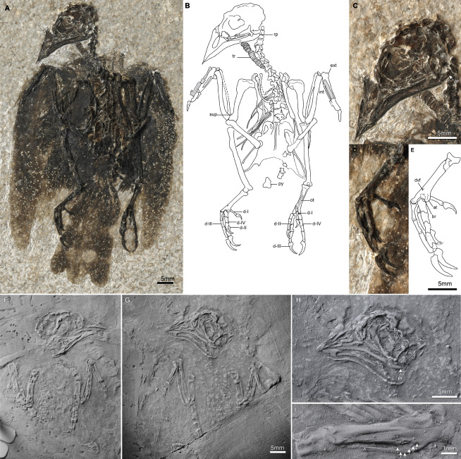 Figure 1Morphology of Eofringillirostrum (A) Photograph and (B) line drawing of the holotype skeleton of Eofringillirostrum boudreauxi (FMNH PA 793) with enlargements showing details of the (C) skull and (D) foot, and (E) line drawing of foot. (F) Holotype slab (IRSNB Av 128a) and (G) counterslab (IRSNB Av 128b) of Eofringillirostrum parvulum with enlargements showing details of (H) skull and (I) carpometacarpus; for contrast enhancement, the specimen was coated with ammonium chloride. Abbreviations: at: accessory trochlea, br: base of the main body of fourth metatarsal trochlea (articular end broken off); d-I – d-IV: pedal digits I – IV, dvf: distal vascular foramen, ext: extensor process, int: intermetacarpal process, ot: ossified tendon, py: pygostyle, rp: retroarticular process, sup: dorsal supracondylar process, tr: tracheal rings. Arrows in (D) indicate borders of intermetacarpal process. Grey shaded regions in (B) indicate portions of the carpometacarpus that were displaced during splitting of the slab. See also Figure S2.