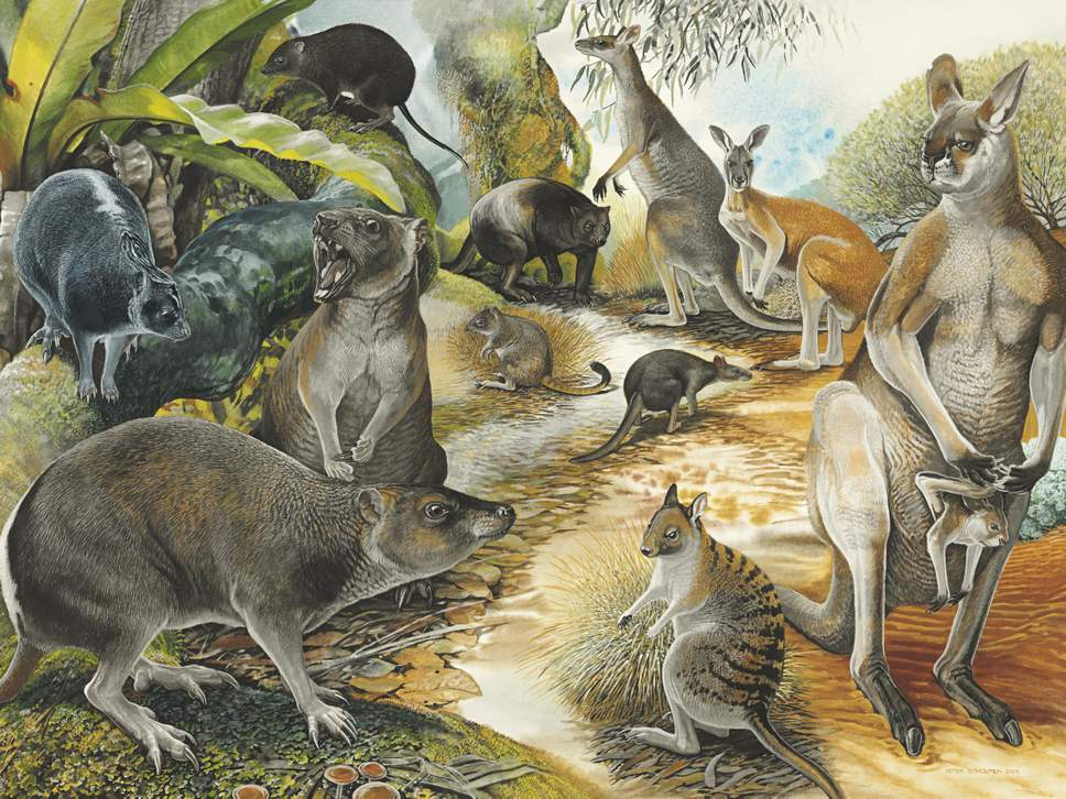 Artistic reconstruction showing the balbarid kangaroo relative Nambaroo gillespieae (top left) ( Peter Shouten/Australian Geographic )