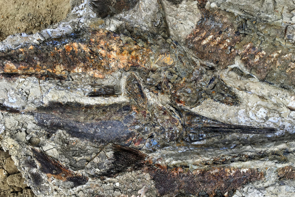 A tangled mass of articulated fish fossils uncovered in North Dakota. The site appears to date to the day 66 million years ago when a meteor hit Earth, killing nearly all life on the planet.CreditCreditRobert DePalma/University of Kansas